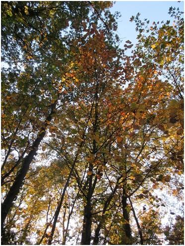 Alisier de Fontainebleau (Sorbus latifolia)