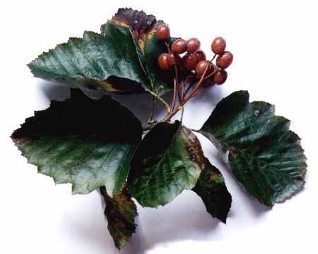 Alisier de Fontainebleau (Sorbus latifolia). Récemment découvert dans la forêt régionale de Bondy par le Conservatoire botanique. Espèce endémique du bassin parisien et protégé au niveau national.