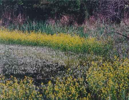 Une des grandes mares du site. Fleurs de Rorripa (Rorippa sp.) et de Renoncules aquatiques (Ranunculus aquatilis).