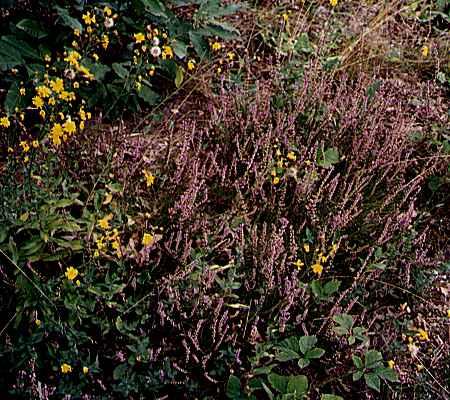 Bruyères et Épervières en ombelles (Hieracium umbellatum) deux plantes typiques des landes silicoles.
