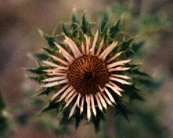 La Carline commune (Carlina vulgaris)