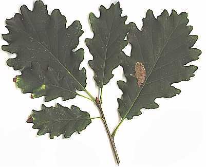 Feuilles de chêne sessile (Quertus petraea) des forêts silicoles.
