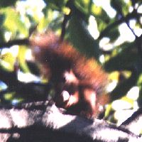 Ecureuil Roux (Sciurus vulgaris). Espèce protégée et surtout visible en hiver.