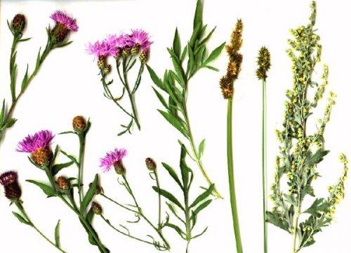 Herbier récolté en Plaine de Rosny : Centaurée maculée (Centaurea maculosa), Centaurée des près (Centaurea jacea), Laîche des renards (Carex vulpina), Laîche cuivrée (Carex cuprina), Absinthe (Artemisia absinthium).