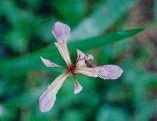 Iris fétide (Iris foetidissima), une espèce d'iris sauvage typique des lisières broussailleuses thermophiles.