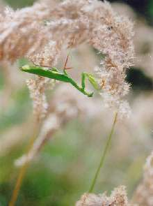Mante religieuse (Mantis religiosa) sur sur Calamagrostis sp.