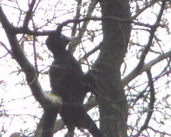 Pic noir (Dryocopu martius), espèce classée Natura2000. Photographié en forêt de Bondy en décembre 2008.