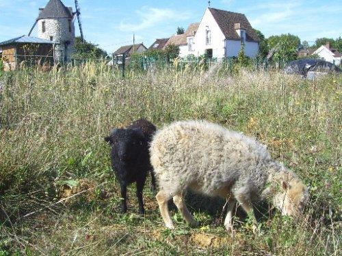 Les moutons d'Ouessant au Moulin du Sempin à Monfertmeil.