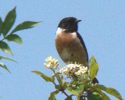 Traquet pâtre (Saxicola rubicola), certainement l'oiseau le plus remarquable nichant en Plaine de Rosny.