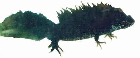 Triton crêté (Triturus cristatus), protégé à l'échelon Européen par la Convention de Berne.