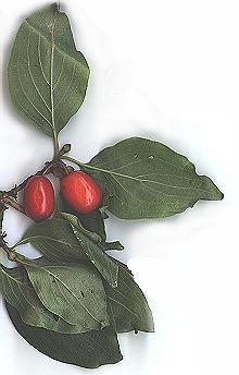 Cornouiller mâle (Cornus mas). Quelques vieux individus dans la forêt régionale de Bondy, à Livry-Gargan et à Bernouille.