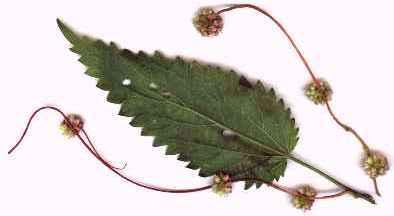 Grande Cuscute (Cuscuta europaea), accrochée à une feuille d'ortie.