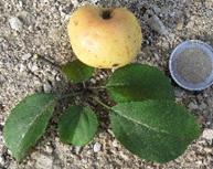 Pommier sauvage (Malus sylvestris), un arbre forestier très rare et signalé à la fausse Maussoin.