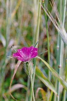 La Nielle des blés (Agrostemma githago).