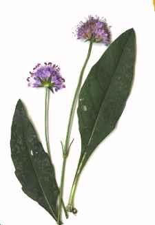 Succise des prés (Succisa pratensis), une plante des tourbières et prairies silicones.