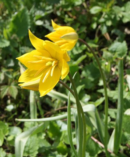 La tulipe sylvestre (Tulipa sylvestris) dans le vignoble conservatoire du Coteau d'Avron.